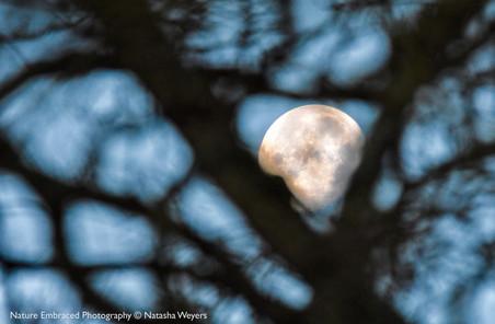 Moon in the Oak
