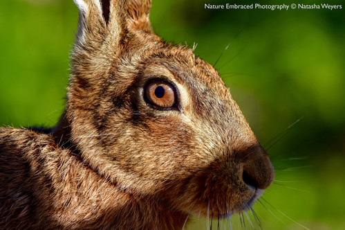 Watchful eye of the Hare