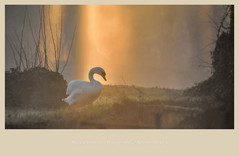 Swan in Ethereal Light
