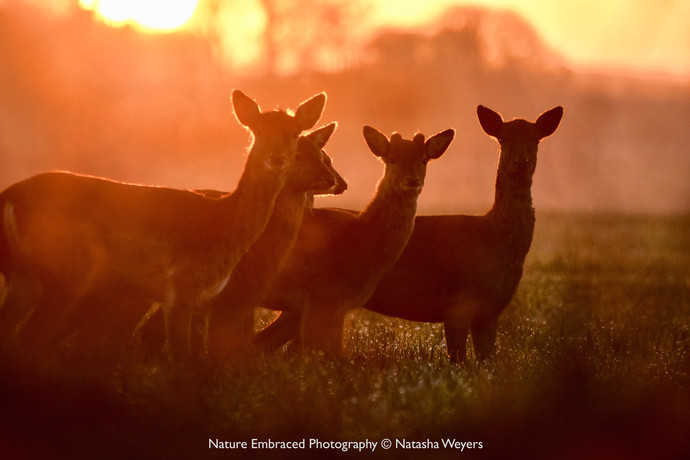 Deer at sunrise