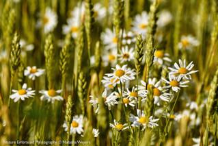 Wildflowers reaching through the crop