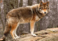 Coyote and furbearer hunting regulation in st. marys county maryland