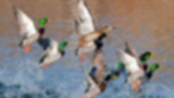 Duck and goose or geese hunting regulations in St. Mary's county Maryland with The Tackle Box in Lexington Park, Maryland