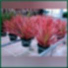 dracena tricolor.jpg