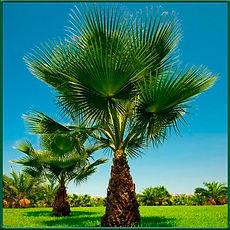 Palmeira Washingtonia.jpg