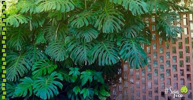 Costela-de-adão: planta com folhagem exuberante e fácil de cuidar.