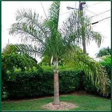 Palmeira locuba.jpg