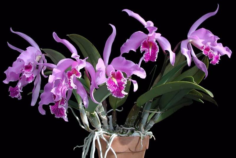 orquídea (10)