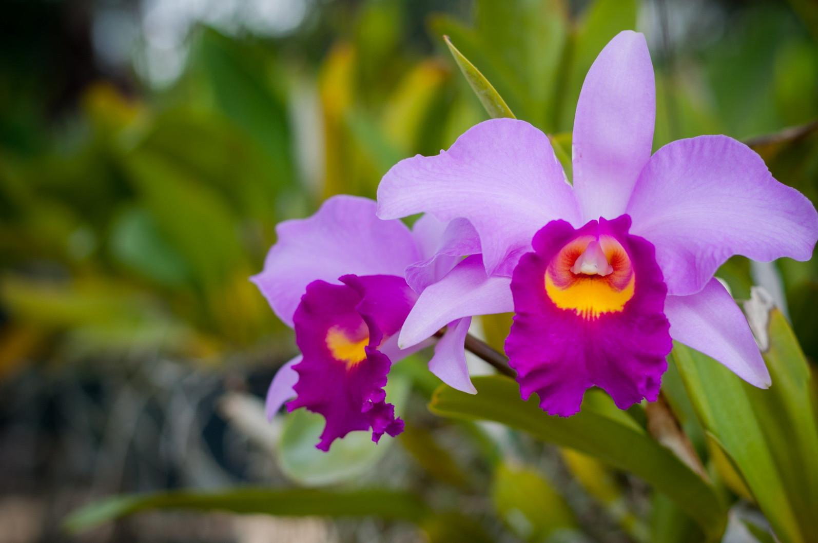 orquídea (11)