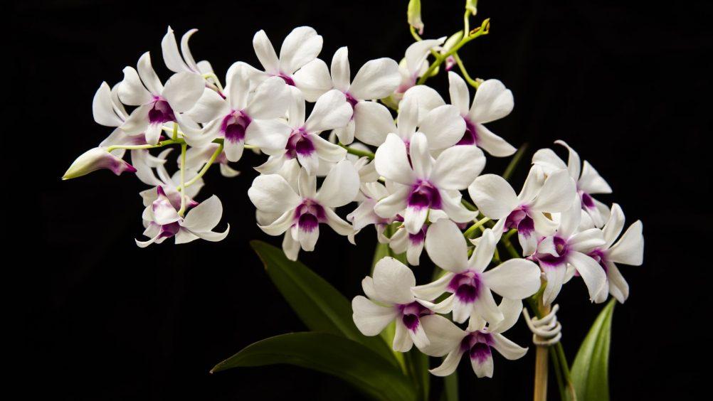 orquídea (8)