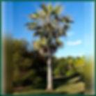 Palmeira Carnauba.jpg