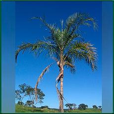 Palmeira Gariroba.jpg