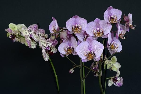 orquídea (7)