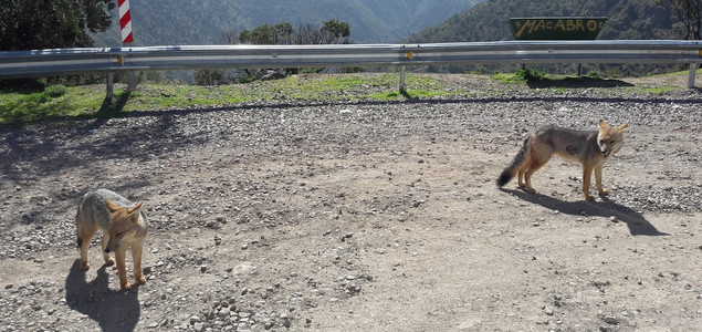 raposas na Cordilheira dos Andes