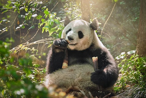 Panda-eating-bamboo--bigstock-255653674.