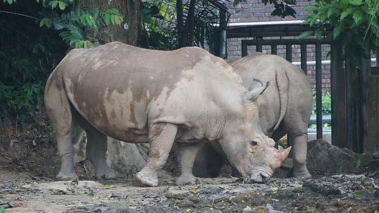 Sumatran-Rhinoceros-Bigstock-264576154.j