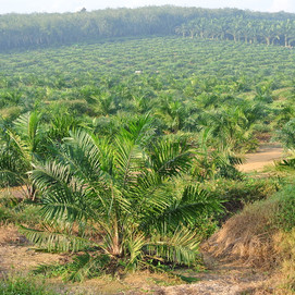 Palm Oil Trees in Malaysia