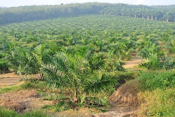 Palm Oil Trees in Malaysia Bigstock-8182
