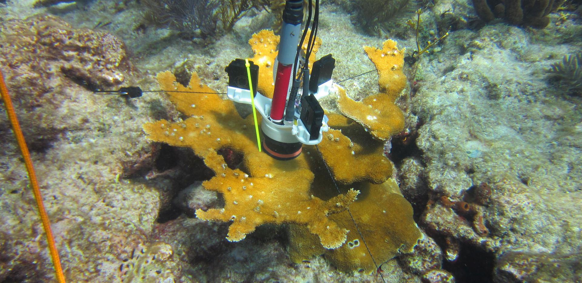 CISME deployed on A. palmata