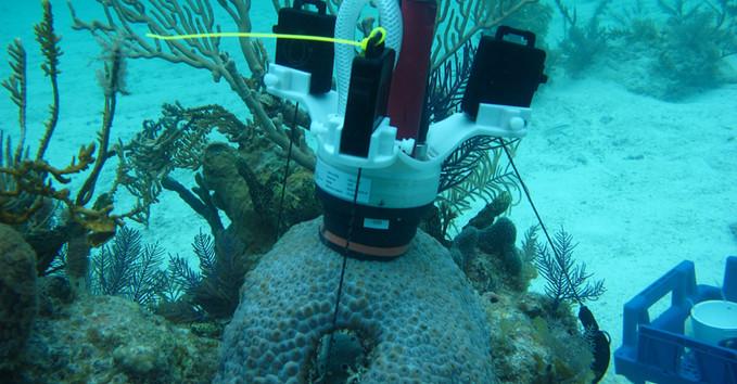CISME deployed on Montastraea cavernosa, a fleshy coral