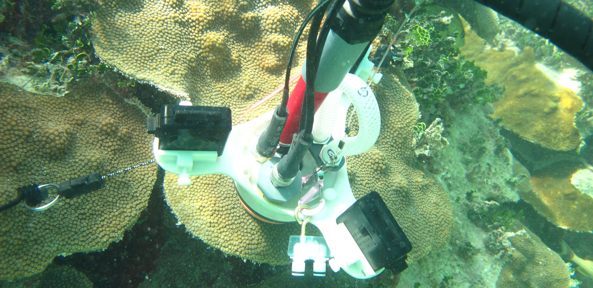 CISME deployed on small plate of a large Orbicella faveolata