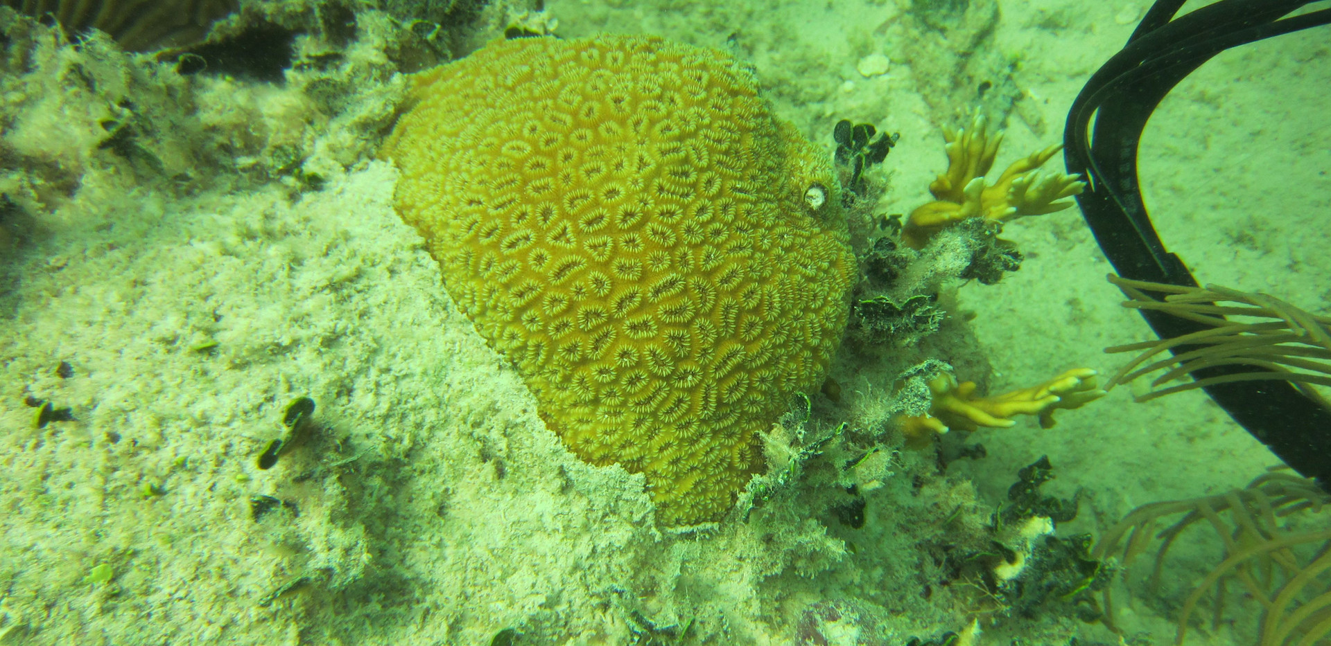 Photo of coral surface minutes after removing CISME, showing no damage to coral