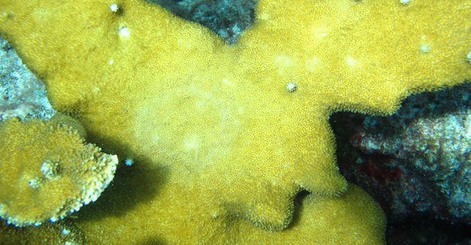 Photo of coral surface after removal of CISME. Pale area returns to normal color within 20 minutes after deployment. No damage to coral tissue.