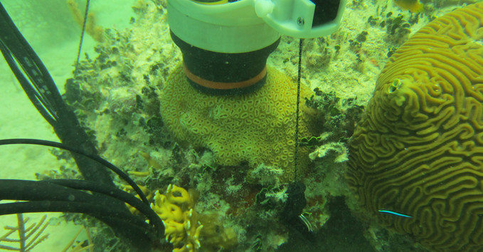 CISME deployed on a Dichocoenia colony