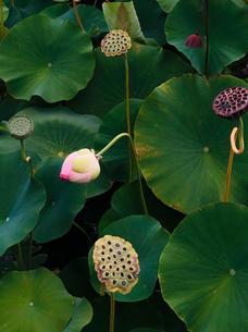 Lotus Flowers in Ali´s garden.
