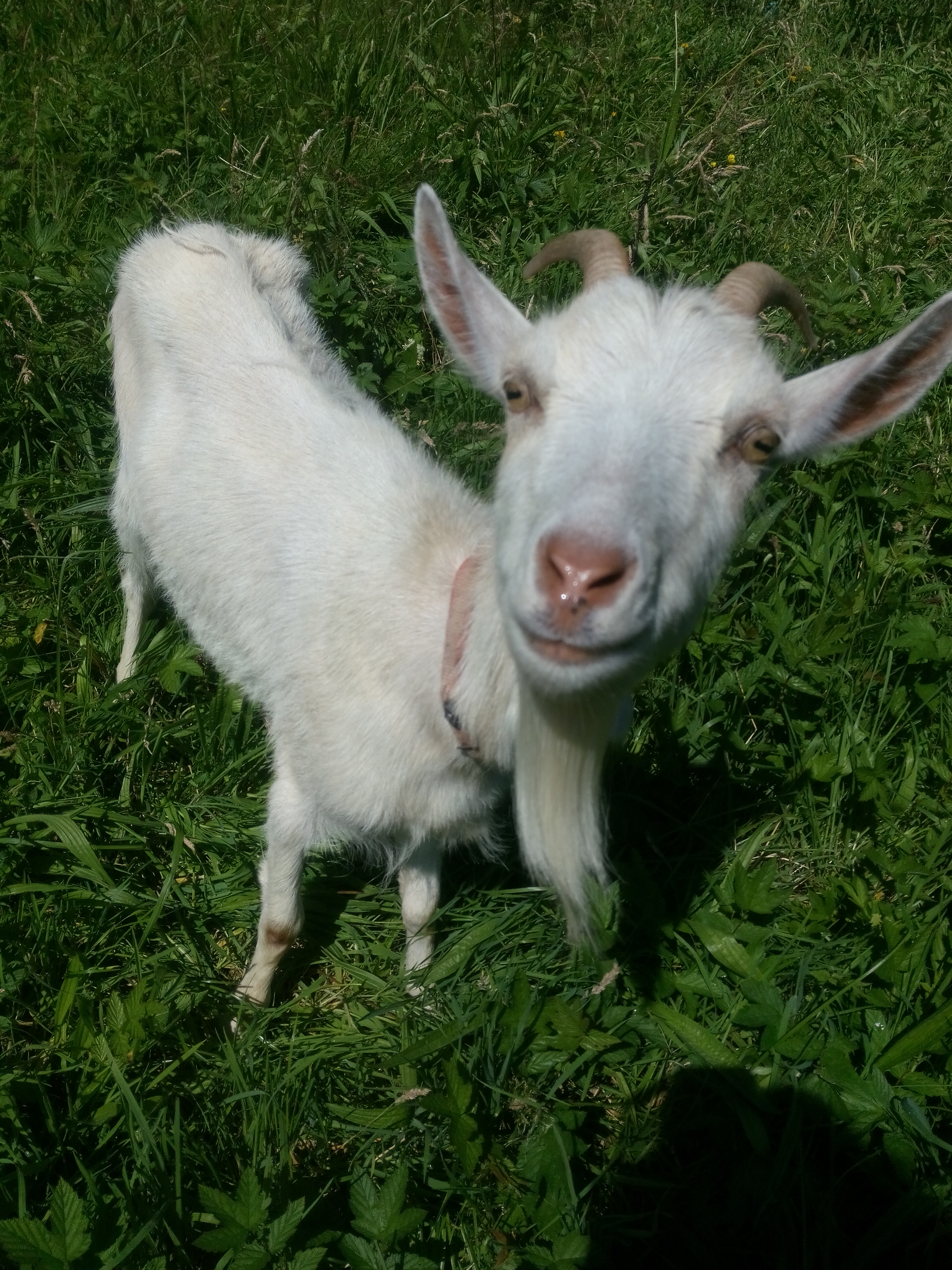 Heather the friendly goat