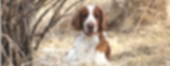 Welsh Springer Spaniel Waterstreams Kennel