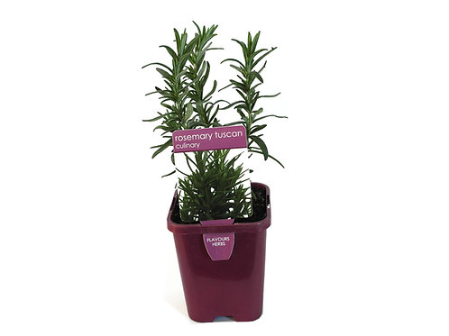 ROSEMARY TUSCAN  SINGLE POT SIZE 8CM