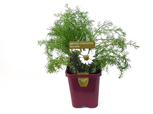 CHAMOMILE GERMAN SINGLE POT SIZE 8CM