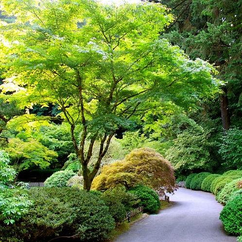 JAPANESE MAPLE ACER PLATANOIDES POT SIZE 33CM