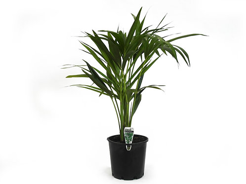 KENTIA PALM HOWEA FORSTERIANA POT SIZE 20CM
