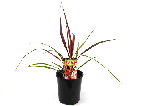 CORDYLINE CAN CAN POT SIZE 20CM
