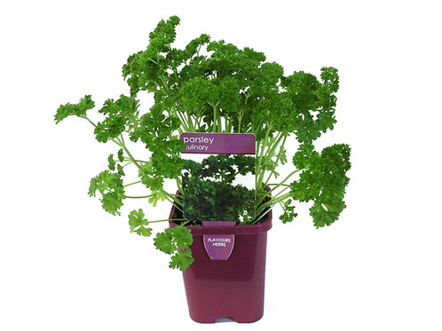 PARSLEY CURLY SINGLE POT SIZE 8CM