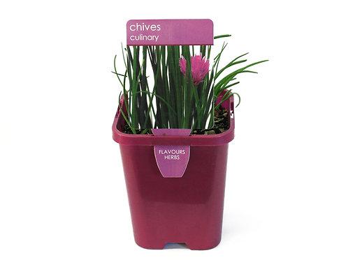 CHIVES PLANT SINGLE POT SIZE 8CM