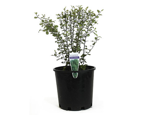 PITTOSPORUM SILVER SHEEN POT SIZE 14CM