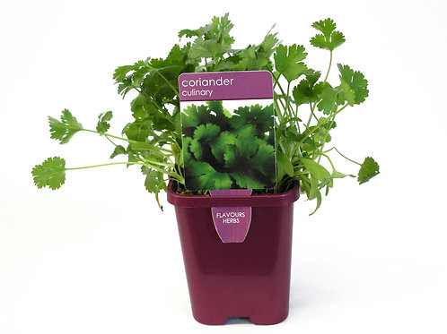 CORIANDER SINGLE POT SIZE 8CM