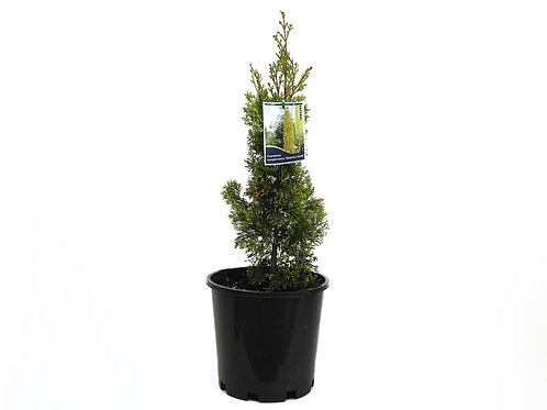 CONIFER SWANES GOLD CUPRESSUS SEMPERVIRENS 20CM POT SIZE