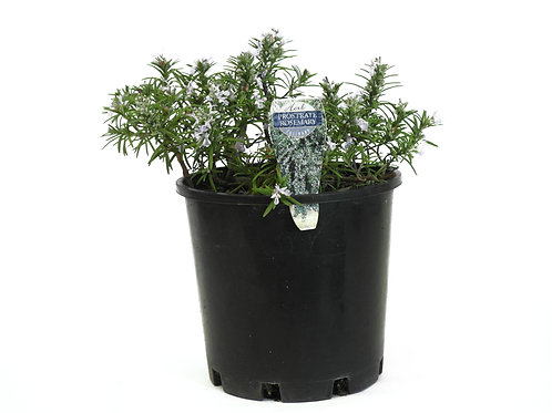 ROSEMARY PROSTRATE POT SIZE 14CM