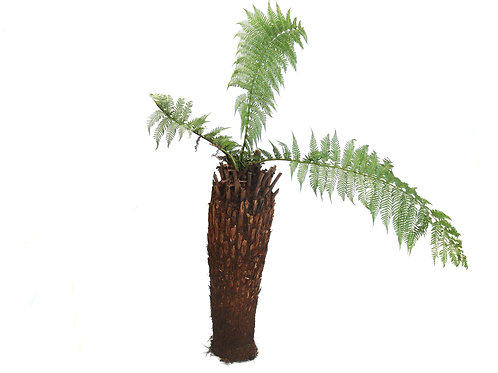 TREE FERNS ASSORTED 5 FOOT