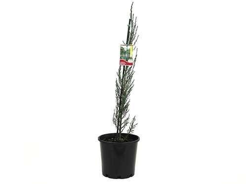 CONIFER SKYROCKET JUNIPERUS SCOPULORUM POT SIZE 20CM