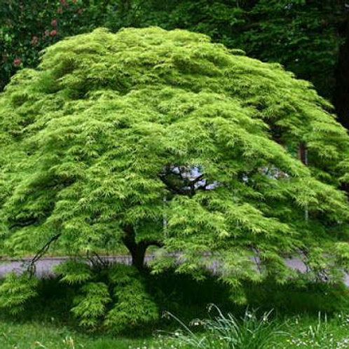 WEEPING JAPANESE MAPLE 30CM POT SIZE