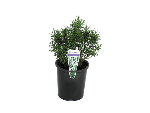 ROSEMARY OFFICINALIS POT SIZE  14CM