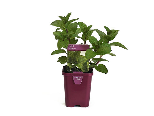 MINT PLANT SINGLE POT SIZE 8CM
