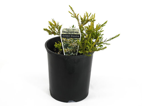 GOLDEN DIOSMA POT SIZE 14CM