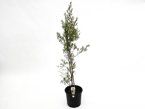 LEPTOSPERMUM PETERSONII POT SIZES 20CM LEMON SCENTED TEA-TREE