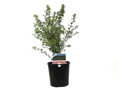 PITTOSPORUM SCREENMASTER TENUIFOLIUM POT SIZE 25CM